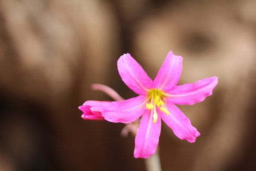 Añañuca, Suazo-aguirre, Chile, Pink Flower
