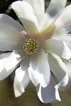 Blossom, Bloom, White, White Blütlentracht, Plant
