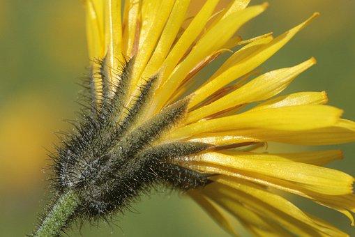 Willemetia Stipitara, Flower, Bloom, Blossom, Stem