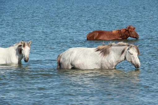 Horses, Lake, Swimming, Mongolia