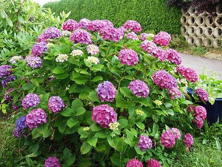 Gartenhotensie, Flowers, Bush, Purple, Garden