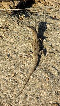 Camouflage, Adaptation, Lizard, Reptile, Nature, Animal