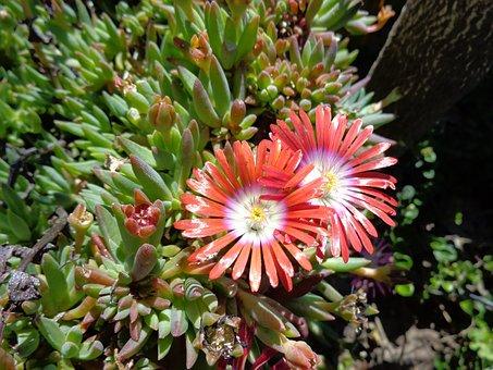 Suculent, Flower, Nature, Spring, Garden, Macro