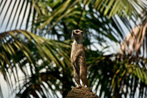 Meerkat, Animal, Wildlife, Wild, Zoology, Mammal