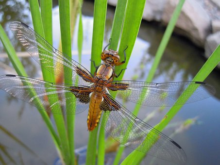 Ważka, Chrysalis, Hatch, Spring