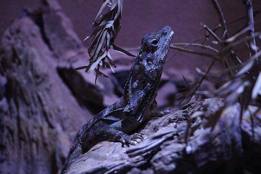 Reptiles, Frilled Lizard, Darkness