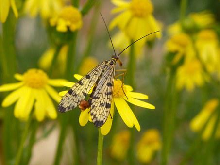 Insect, Fauna, Scorpionfly, Animal, Spring