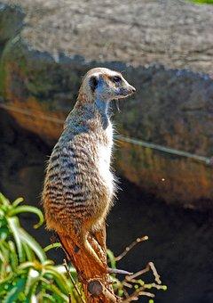 Meerkat, Zoo, Animal, Wildlife, Wild, Zoology, Mammal