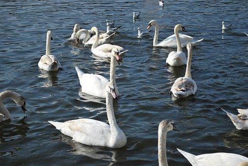 Swans, A White Swan, Swan
