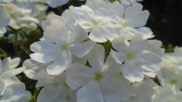 Flower, Macro, Plant, White, Bloom, Mountain Homokhúr