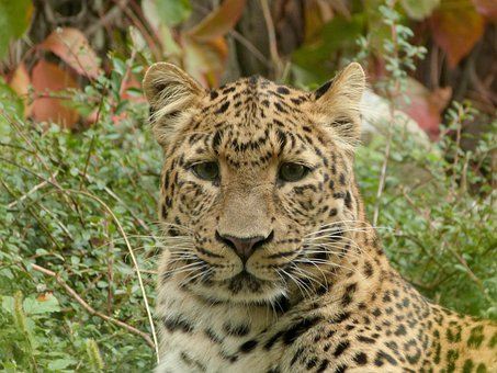 Leopard, Chinese Leopard, Big Cat, Young, Portrait, Zoo