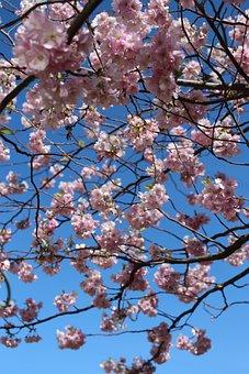 Cherry Blossom, Cherry Flowers, Cherry, Spring