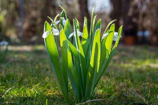 Schneegloeckcken, Flowers, White, White Green, Spring