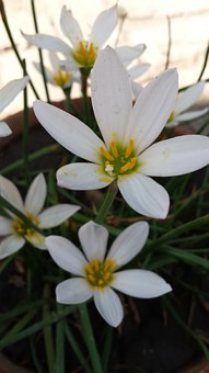 Flowers, White Flowers, Autumn, Garden
