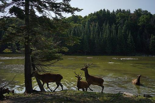Deer, Nature, Wildlife, Animal, Mammal, Natural, Season
