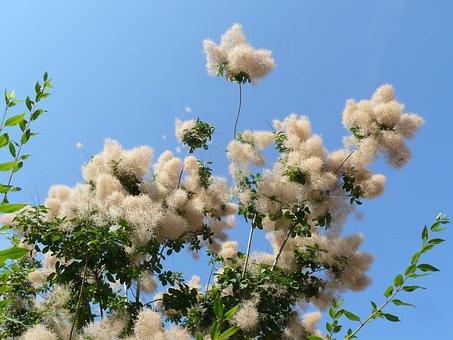 Cotinus, Nature, Flowers, Sky, Plants, Summer, Blue