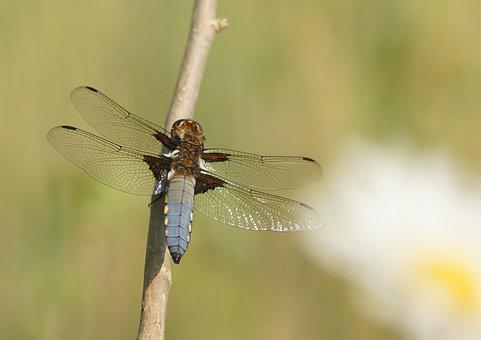 Dragonfly, černořitka, Daisy, Nature