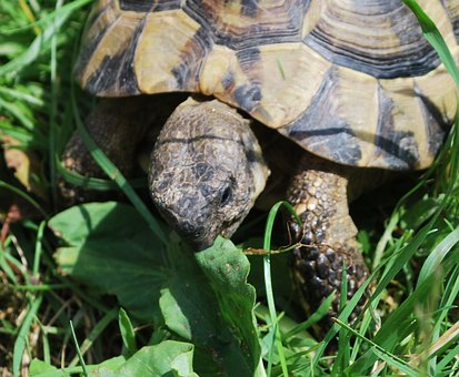 Turtle, Summer, Meadow, Grass, Toad, Nature, Eat