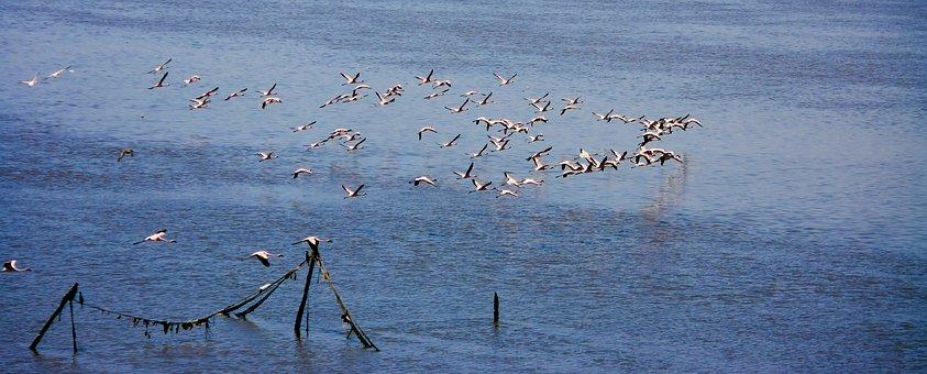 Flamingos, Flock, Flocking, Flying, Birds