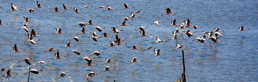 Flamingos, Birds, India, Flock, Flying, Flocking, Water