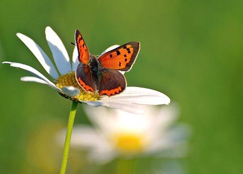Small Fire Falter, Lycaena Phlaeas, Butterflies