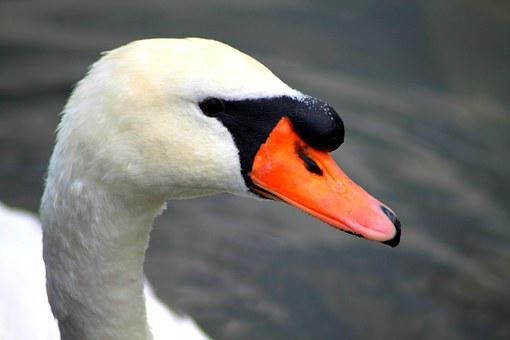 Swan, Idyll, Water, Nature, Animal, Noble, Lake