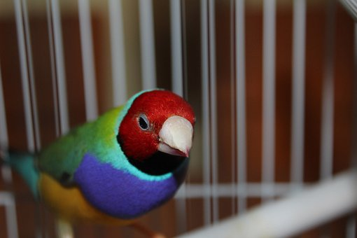 Gouldian, Bird, Fly, Wings, Feather, Wildlife, Beak
