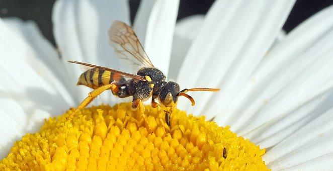 Wasp Bee, Wild Bee, Nomada Fucata, 8 Mm, Bienchen, Bee