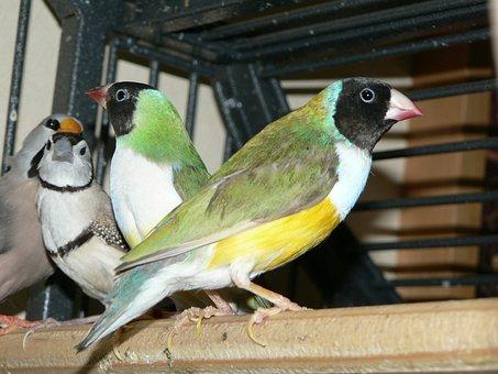 Bird, Gouldian, Animal