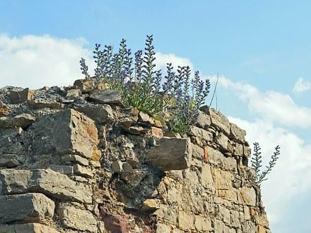 Flowers On The Ancient Wall, Castle Ruin Of Arnstein