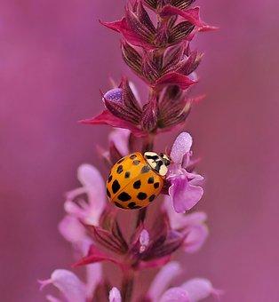 Ladybug In Sage, Harmonia, Sage Shrub, Flowers, Violet