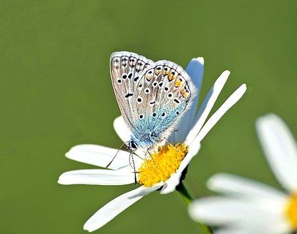 Common Blue, Hauhechel, Polyommatus Icarus, Males, Mood