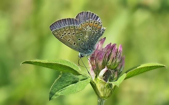 Common Blue, Klee, Hauhechel, Summer, Nature, Insect