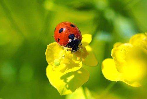 Ladybug, Lucky Ladybug, Grass, Spurge, Luck, Leaves