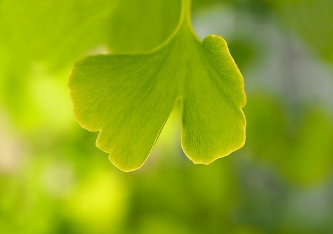 Gingko, Leaf, Ginko, Young, Small, Young Tree
