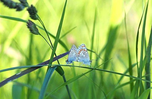 Meadow, Lycaenidae, Copulation, Hauhechel, Summer, Warm