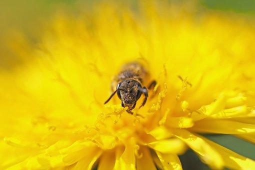 Wild Bee, Sandy Bee, 8 Mm, Dandelion, Macro, Pollen