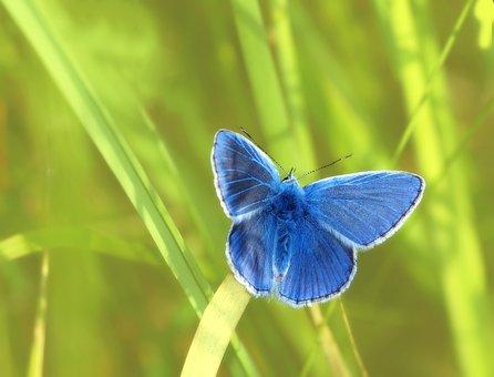 Common Blue, Hauhechel, Males, Restharrow's Blue