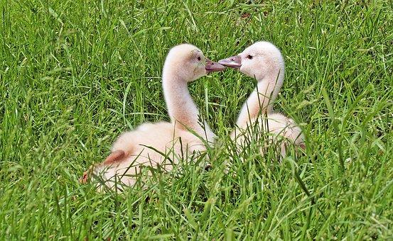 We Are Listening, Swan Chicks, Talk, Swans, Boy, Swan