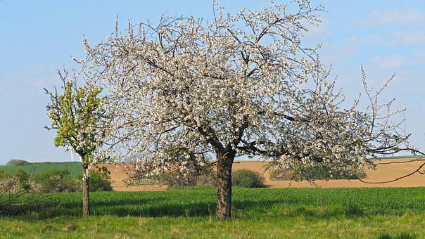 Cherry Blossom, Flowers, White, Spring, Macro, Cherry