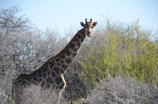 Giraffe, Animal, Wilderness, Safari, Africa, Neck