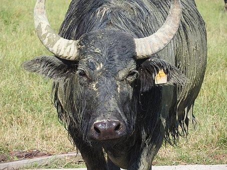 Buffalo, Water Buffalo, African Buffalo, Wild Animals