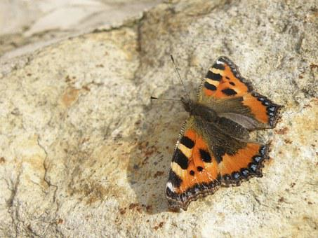 Butterfly, Small Tortoiseshell, Aglais Urticae, Detail