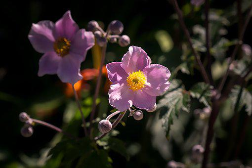 Anemone, Pink, Anemone Pink, Fall Anemone, Late Summer