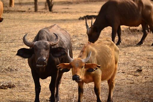 Buffalo, Water Buffalo, Animal, Mammal, Cattle, Bovine