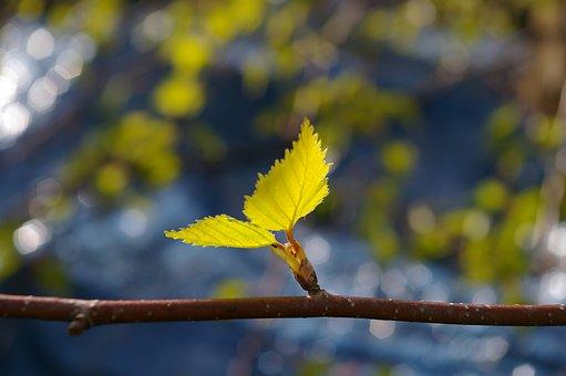 Leaf, Birch Leaf, Spring, Birch, Green, Nature