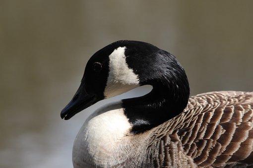 Canada, Goose, Lake, Bird, Nature, Wildlife, Water