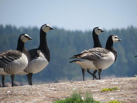 Barnacle Goose, Rock, Four, Bird, Black, White, Goose