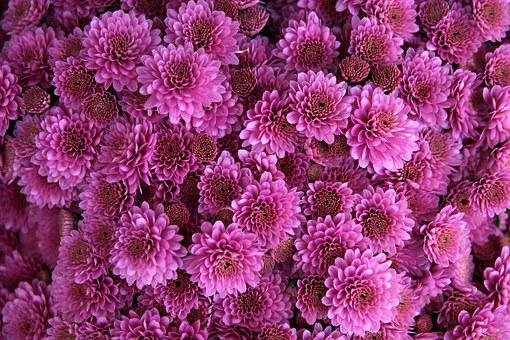 Chrysanthemum, Flower, Pink, Purple, Bloom, Blossom
