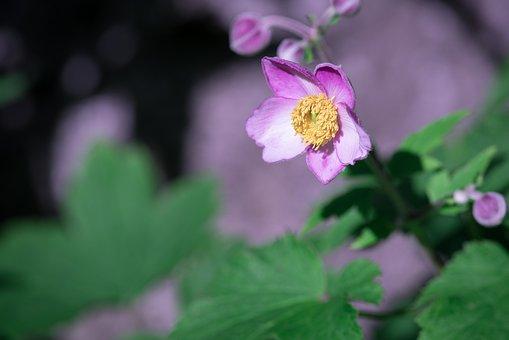Anemone, Fall Anemone, Blossom, Bloom, Plant, Garden